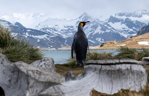 A penguin admires the stunning landscape of South Georgia